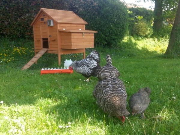 Alimentation des poules pondeuses